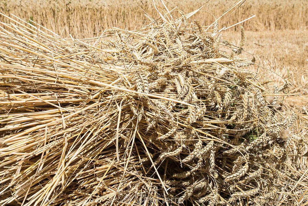 Mazo de trigo cosechado a mano.